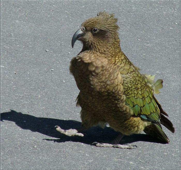 Попугай Кеа (совиный)