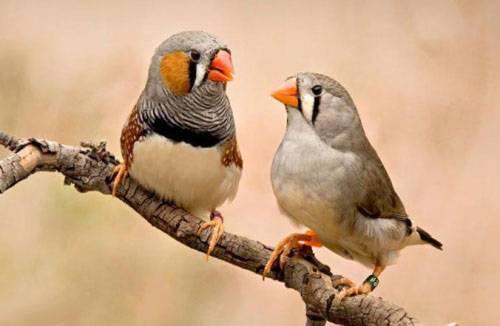 Попугай Амадины