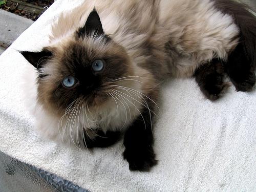 Кошка, порода Рэгдолл