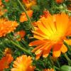 Цветок Календула фото - twr 100x100