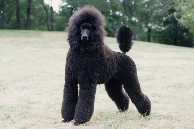 Собака, порода Пудель