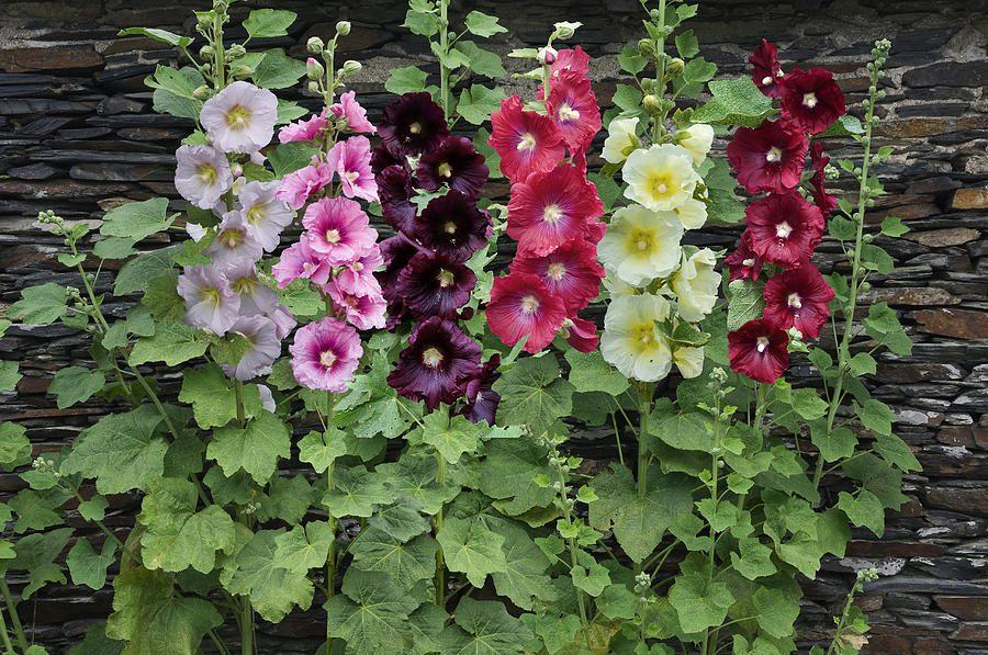 Цветок Мальва