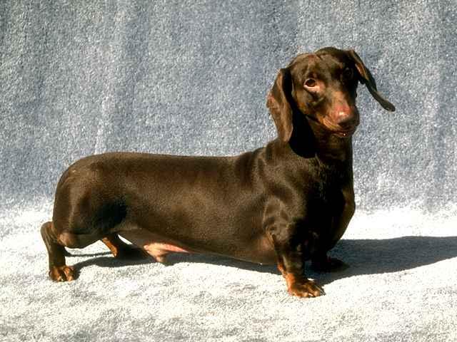 Собака, порода Такса