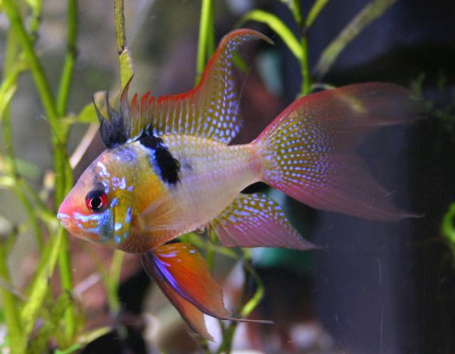 Аквариумная рыбка Апистограмма Рамиреса.