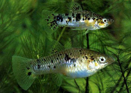 Аквариумная рыбка Крапчатая лимия.