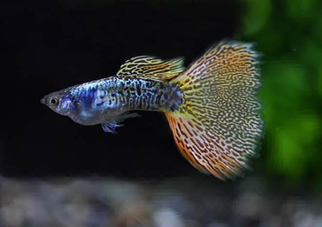 2182 Аквариумная рыбка Гуппи.