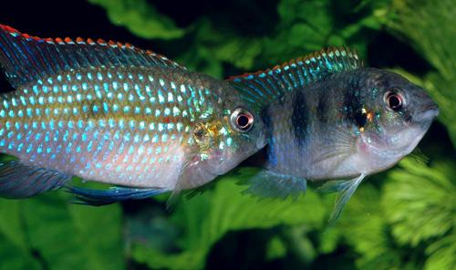 Аквариумная рыбка Пельматохром Томаса.