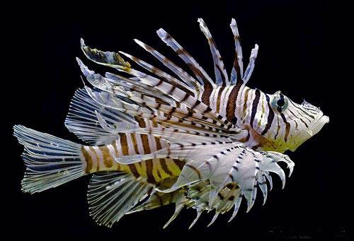 Аквариумная рыбка Зебра.