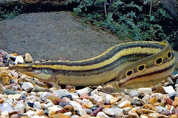 2194 Аквариумная рыбка Макрогнатус глазчатый.