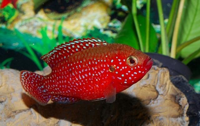 Аквариумная рыбка Хемихромис красный или Красная цихлида.