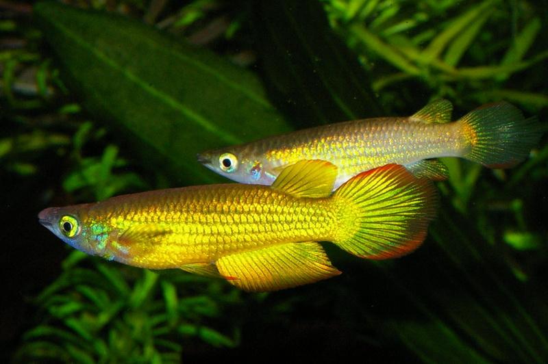 Аквариумная рыбка Полосатая щучка (полосатая светлоглазка, или линеатус ).