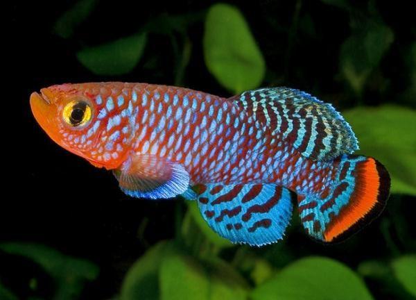 Аквариумная рыбка Нотобранх Рахова.
