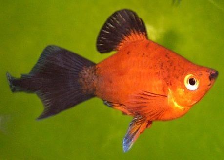 Аквариумная рыбка Пецилия дисковая.