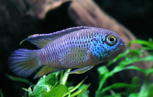 Аквариумная рыбка Наннакара аномала.