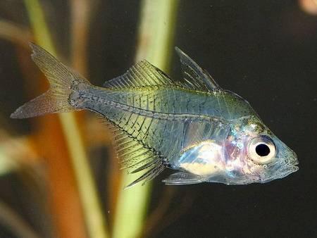 Аквариумная рыбка Индийский стеклянный окунь.