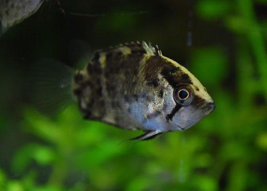 Аквариумная рыбка — обрубок или полицентрус .
