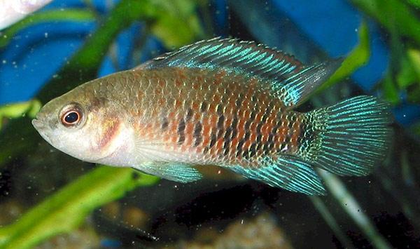 Аквариумная рыбка Окунь синий (бадис-бадис).
