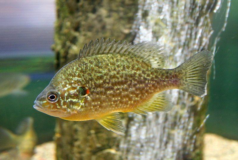 Аквариумная Обыкновенная солнечная рыбка.