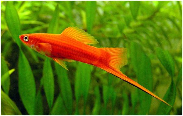 2186 Аквариумная рыбка Меченосец.