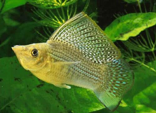 Аквариумная рыбка Моллинезия велифера.
