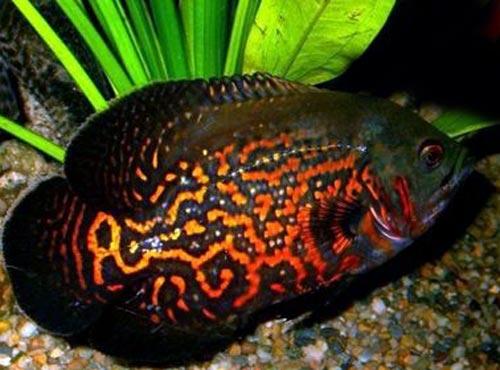 Аквариумная рыбка Глазчатый астронотус.