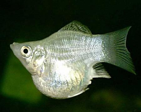 2176 Аквариумная рыбка Моллинезия баллон.
