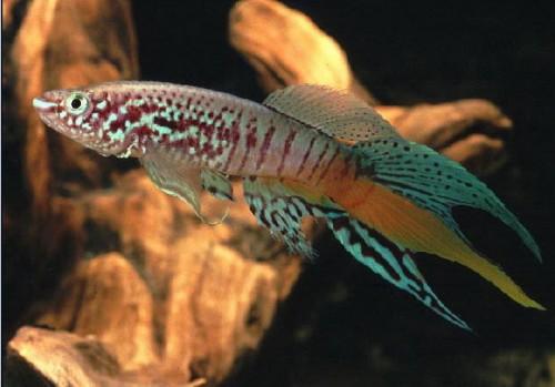 2174 Аквариумная рыбка Фазан голубой.