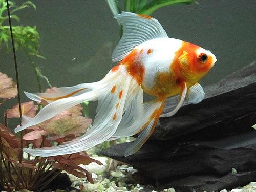 2215 Аквариумная рыбка Вуалехвост.