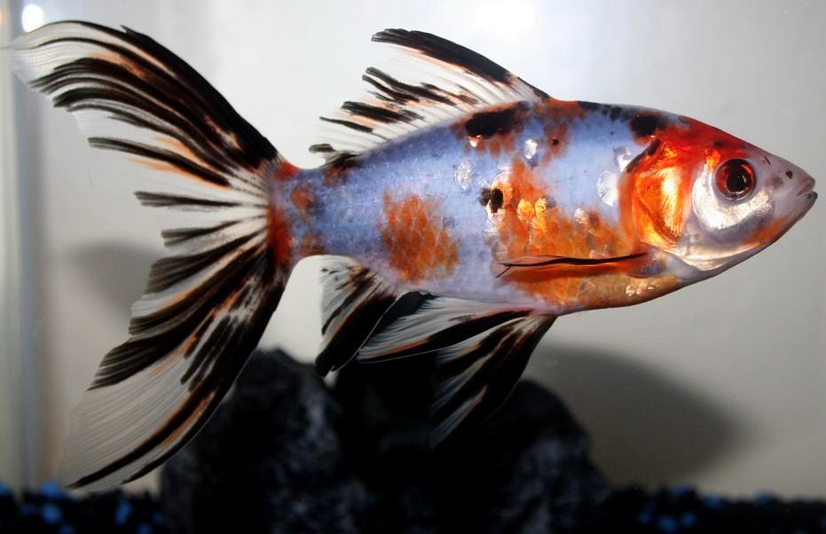 Аквариумная рыбка Шубункин.