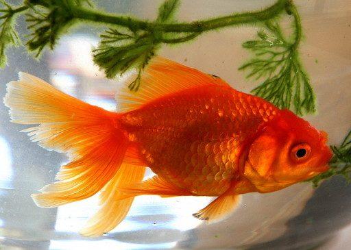 Аквариумная Золотая рыбка.