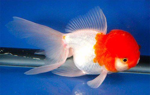 Аквариумная рыбка Танчо (Оранда Красная шапочка).