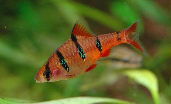 Аквариумная рыбка Барбус пятиполосый.