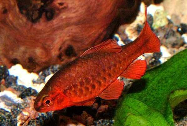 Аквариумная рыбка Вишнёвый барбус.