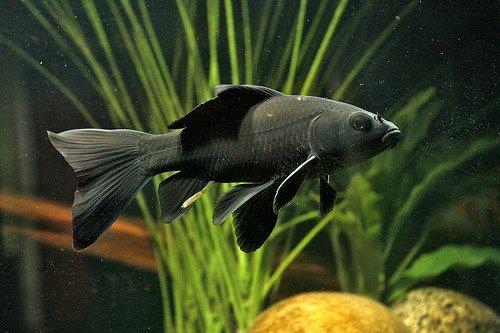Аквариумная рыбка Чёрная комета.