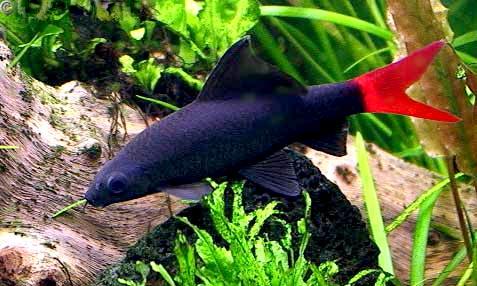 Аквариумная рыбка Двухцветный лабео.