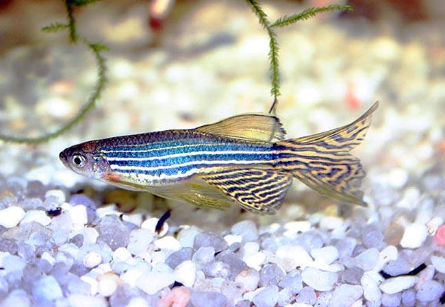 2217 Аквариумная рыбка Данио-рерио.