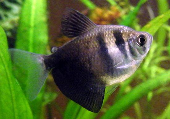 1987 Аквариумная рыбка Тернеция (черная тетра).