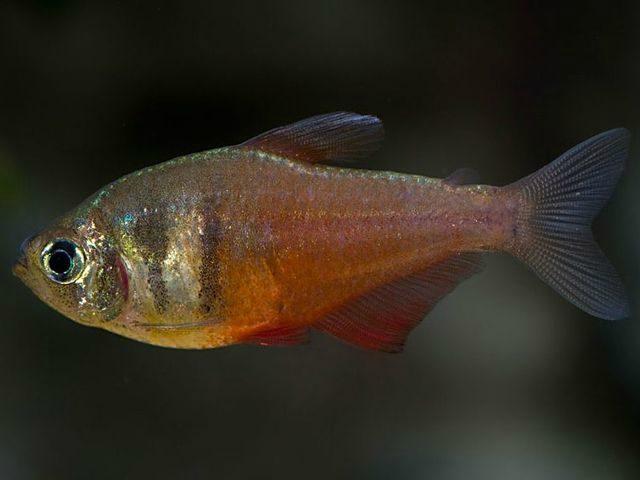 Аквариумная рыбка Тетра-фон-рио.