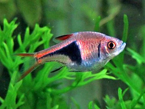 Аквариумная рыбка Расбора клинопятнистая.