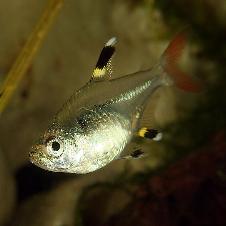 Аквариумная рыбка Пристелла.