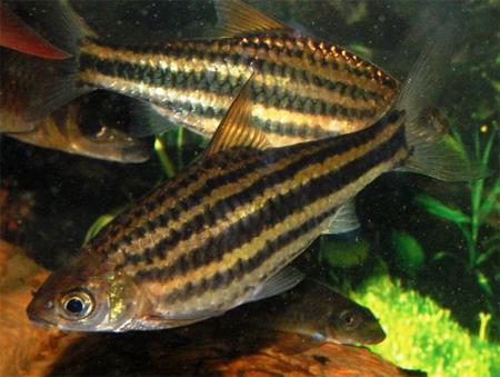 2014 Аквариумная рыбка Барбус четырехлинейный.