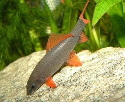 Аквариумная рыбка Таиландский лабео (зелёный).