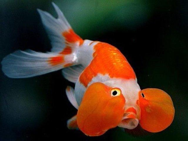 Аквариумная рыбка Водяные глазки.