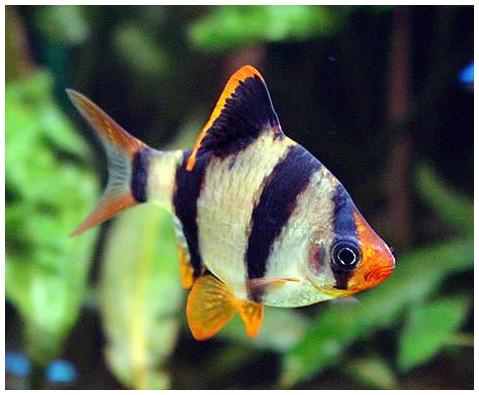 Аквариумная рыбка Суматранский барбус.