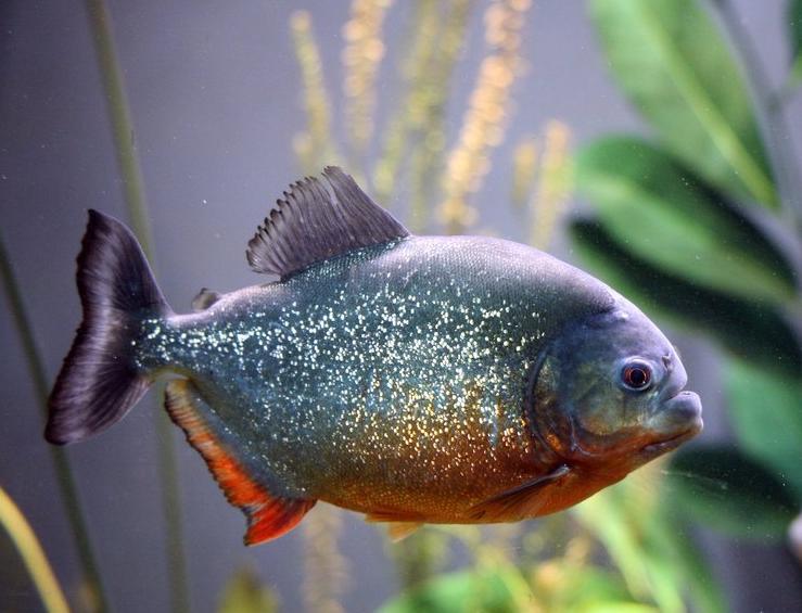 Аквариумная рыбка Пиранья.