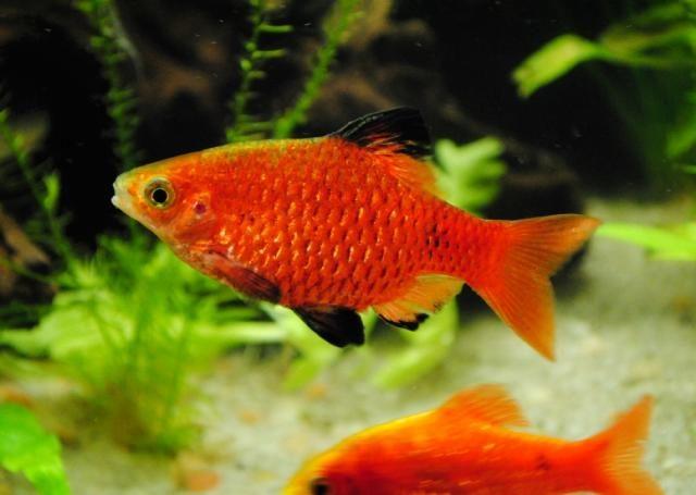 Аквариумная рыбка Огненный барбус.