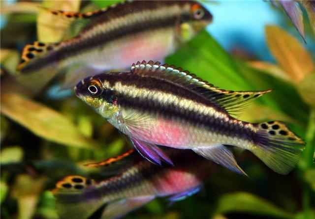 Аквариумная рыбка Цихлида — попугай.