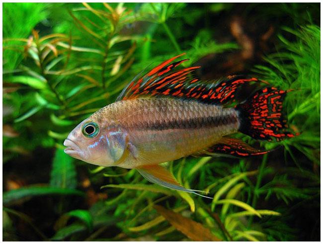 Аквариумная рыбка Апистограмма какаду .
