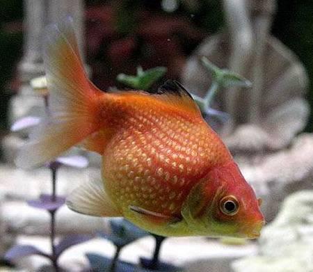 Аквариумная рыбка Помпон (ханафуза).