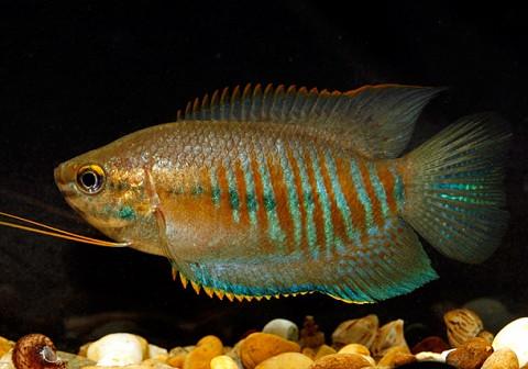 Аквариумная рыбка Лябиоза.